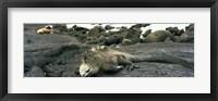 Framed Marine Iguana Galapagos Islands