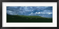 Framed Charolais cattle grazing in a field, Rocky Mountains, Montana, USA
