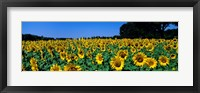 Framed Sunflowers In A Field, Provence, France