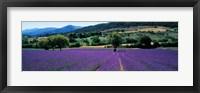 Framed Lavender Field, Provence, France