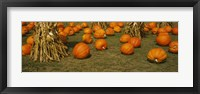 Framed Corn plants with pumpkins in a field, South Dakota, USA