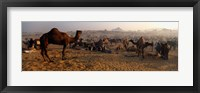 Framed Camels in a fair, Pushkar Camel Fair, Pushkar, Rajasthan, India