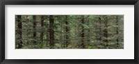 Framed Trees in a forest, Spruce Forest, Joutseno, Finland