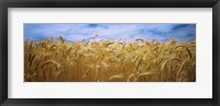 Framed Wheat crop growing in a field, Palouse Country, Washington State
