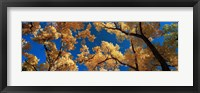 Framed Low angle view of cottonwood tree, Canyon De Chelly, Arizona, USA