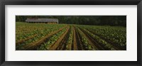 Framed Tobacco Field in North Carolina