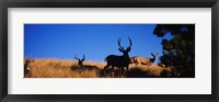 Framed Mule Deer
