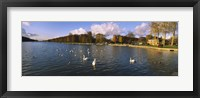 Framed Flock of swans swimming in a lake, Chateau de Versailles, Versailles, Yvelines, France