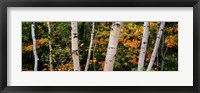 Framed Birch trees in a forest, New Hampshire, USA