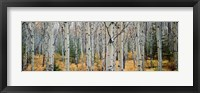 Framed Aspen trees in a forest, Alberta, Canada