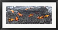 Framed High angle view of Sally Lightfoot crabs (Grapsus grapsus) on a rock, Galapagos Islands, Ecuador