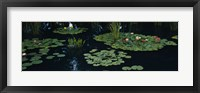 Framed Water lilies in a pond, Denver Botanic Gardens, Denver, Colorado, USA