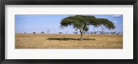 Framed Acacia trees with weaver bird nests, Antelope and Zebras, Serengeti National Park, Tanzania