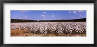 Framed Cotton crops in a field, Georgia, USA