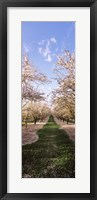 Framed Almond trees in an orchard, Central Valley, California, USA