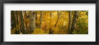 Framed Aspen trees in a forest, Californian Sierra Nevada, California, USA