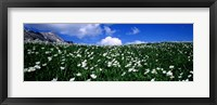 Framed White flowers in a field, French Riviera, Provence-Alpes-Cote d'Azur, France