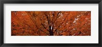 Framed Maple tree in autumn, Vermont, USA