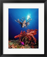 Framed Lionfish (Pteropterus radiata) and Squarespot anthias (Pseudanthias pleurotaenia) with soft corals in the ocean