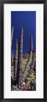 Framed Close up of Organ Pipe cactus, Arizona