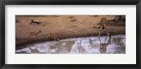 Framed Impalas (Aepyceros Melampus) and a giraffe at a waterhole, Mkuze Game Reserve, Kwazulu-Natal, South Africa
