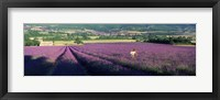 Framed Woman walking through fields of lavender, Provence-Alpes-Cote d'Azur, France
