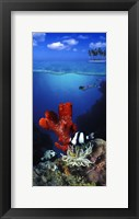 Framed Underwater view of sea anemone and Humbug fish and Pufferfish with a scuba diver