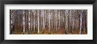 Framed Silver birch trees in a forest, Narke, Sweden