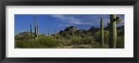 Framed Cactus plant on a landscape, Sonoran Desert, Organ Pipe Cactus National Monument, Arizona, USA