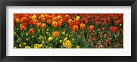 Framed Tulips in a field, St. James's Park, City Of Westminster, London, England