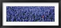Framed Bluebonnet flowers in a field, Hill county, Texas, USA