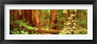 Framed Muir Woods, Trees, National Park, Redwoods, California