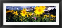 Framed Daisies, Flowers, Field, Mountain Landscape, Snowy Mountain Range, Wyoming, USA, United States