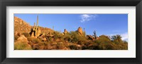 Framed Saguaro Cactus, Sonoran Desert, Arizona, United States