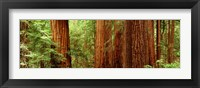 Framed Redwoods Muir Woods CA USA