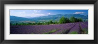 Framed Lavender Fields, La Drome Provence, France