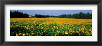 Framed Sunflowers St Remy de Provence Provence France