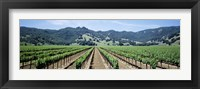 Framed Rows of vine in a vineyard, Hopland, California