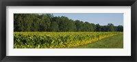 Framed Crop of tobacco in a field, Winchester, Kentucky, USA