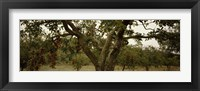 Framed Apple trees in an orchard, Sebastopol, Sonoma County, California, USA