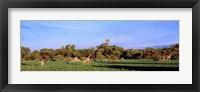 Framed Giraffes in a field, Moremi Wildlife Reserve, Botswana, South Africa