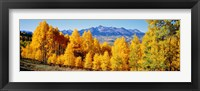 Framed Fall Aspen Trees Telluride CO