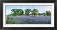 Framed Field of Bluebonnet flowers, Texas, USA