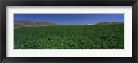 Framed USA, Idaho, Burley, Potato field surrounded by mountains