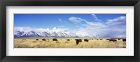 Framed Bison Herd, Grand Teton National Park, Wyoming, USA