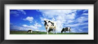 Framed Cows In Field, Lake District, England, United Kingdom
