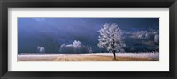 Framed Trees With Frost, Franstanz, Tyrol, Austria