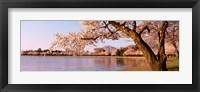 Framed Cherry blossom tree along a lake, Potomac Park, Washington DC, USA