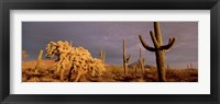 Framed Low angle view of Saguaro cacti on a landscape, Organ Pipe Cactus National Monument, Arizona, USA