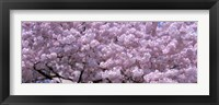 Framed USA, Washington DC, Close-up of cherry blossoms